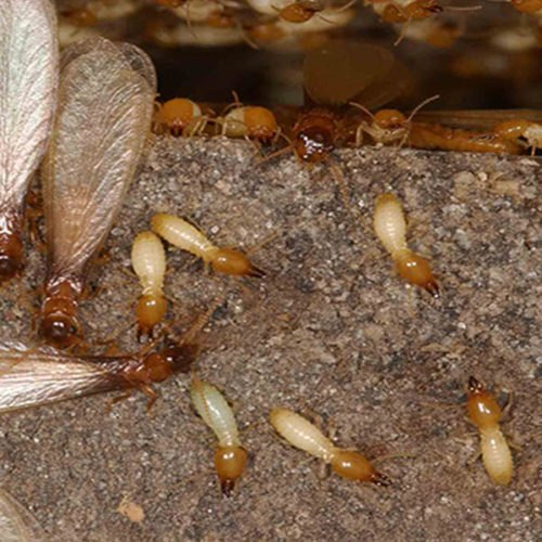 termites treatment